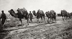 Камилите в българската армия, земеделие и транспорт